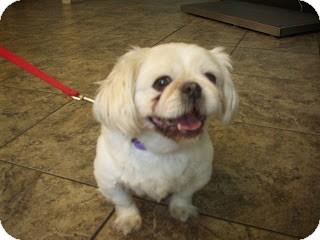 Pekingese Mix Dog for adoption in Virginia Beach, Virginia - Jeffery