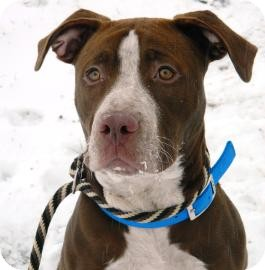 American Pit Bull Terrier Mix Dog for adoption in Cheyenne, Wyoming - Stossie