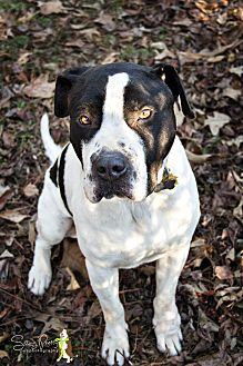 Great Dane/Pointer Mix Dog for adoption in Windsor, Virginia - Howie