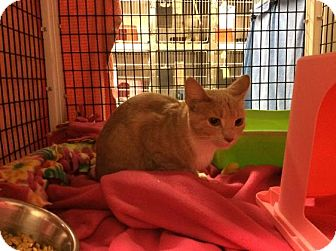 Domestic Shorthair Cat for adoption in Janesville, Wisconsin - Nutter Butter
