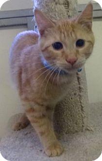Domestic Shorthair Kitten for adoption in Olive Branch, Mississippi - Thomas