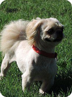 Pekingese/Shih Tzu Mix Dog for adoption in Anderson, South Carolina - TEDDY