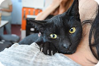 American Shorthair Kitten for adoption in Los Angeles, California - Scout