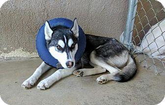 Husky Dog for adoption in Crestline, California - Charleen