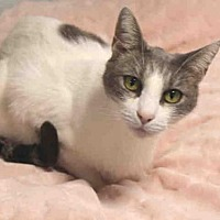 Domestic Mediumhair Cat for adoption in Hampton Bays, New York - SAM