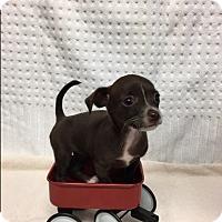 Adopt A Pet :: Sweetie Pie - Tehachapi, CA