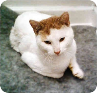 American Shorthair Cat for adoption in Cranford, New Jersey - Chance