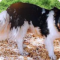 Adopt A Pet :: Oddie minie Aussie mix - Sacramento, CA