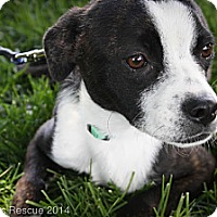 Adopt A Pet :: Glory - Broomfield, CO