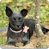Chihuahua Dog for adoption in Santa Fe, Texas - Virginia--Tiny little sprite-_S