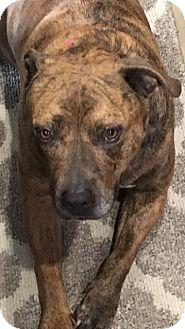 Pit Bull Terrier Mix Dog for adoption in Las Vegas, Nevada - Diamond
