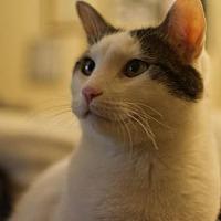 Adopt A Pet :: Ninja 2 - Mission Viejo, CA
