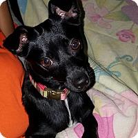 Adopt A Pet :: MIDNIGHT - Hollywood, FL