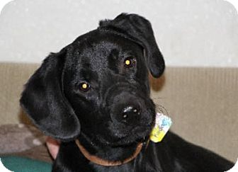 Labrador Retriever Mix Puppy for adoption in Avon, New York - Koda
