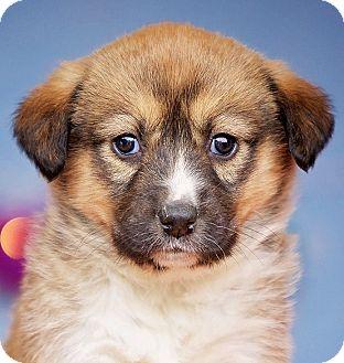 Australian Shepherd/German Shepherd Dog Mix Puppy for adoption in Cincinnati, Ohio - Calista