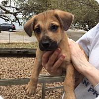 Adopt A Pet :: Simon - Fair Oaks Ranch, TX