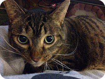 Domestic Shorthair Cat for adoption in Byron Center, Michigan - Natasha