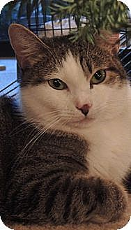 Domestic Shorthair Cat for adoption in Los Angeles, California - Arwen