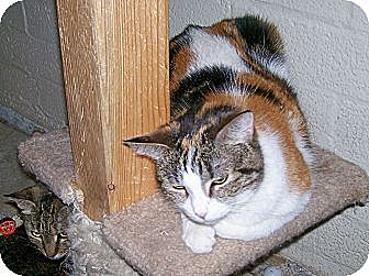 Calico Cat for adoption in Scottsdale, Arizona - Katrina