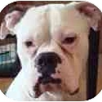 Adopt A Pet :: GEORGE - FOSTER NEEDED - Sunderland, MA