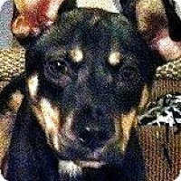 Adopt A Pet :: GRIFFEY(ADORABLE SHEP. PUPPY!! - Wakefield, RI