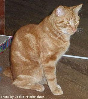 Domestic Shorthair Cat for adoption in Oak Ridge, Tennessee - Morris