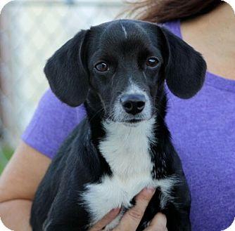 Beagle/Dachshund Mix Dog for adoption in Liberty Center, Ohio - Tutu