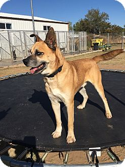 Anatolian Shepherd/Boxer Mix Dog for adoption in Woodward, Oklahoma - Simon