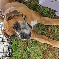 Boxer Dog for adoption in Chatham, Virginia - Boz