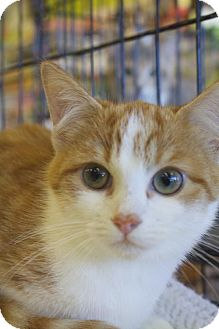 Domestic Shorthair Cat for adoption in Ellicott City, Maryland - .Pumpkin
