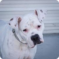 Adopt A Pet :: Stephano - Alameda, CA