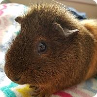 Adopt A Pet :: Albert - Harleysville, PA