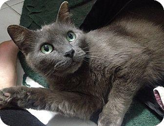Domestic Shorthair Cat for adoption in Toronto, Ontario - Kanti