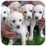 Photo 2 - Labrador Retriever Mix Puppy for adoption in Cumming, Georgia - Yellow girls