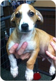 Chihuahua/Corgi Mix Puppy for adoption in Simi Valley, California - Monte