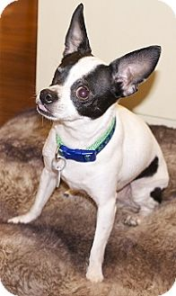 Chihuahua Mix Dog for adoption in AUSTIN, Texas - ZEEK