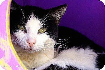 Domestic Shorthair Cat for adoption in Tucson, Arizona - Sephora