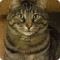 Domestic Shorthair Cat for adoption in Lombard, Illinois - Chutney
