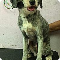 Adopt A Pet :: Sammy - Milford, CT