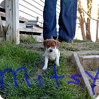 Adopt A Pet :: Mitsy - Ft. Collins, CO