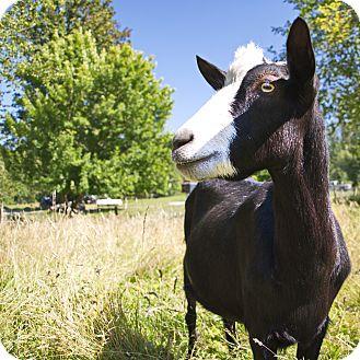 Goat for adoption in Maple Valley, Washington - Jet & Loki