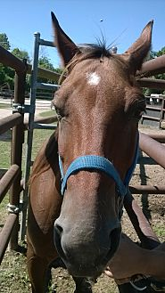 Quarterhorse Mix for adoption in Hitchcock, Texas - Ruth