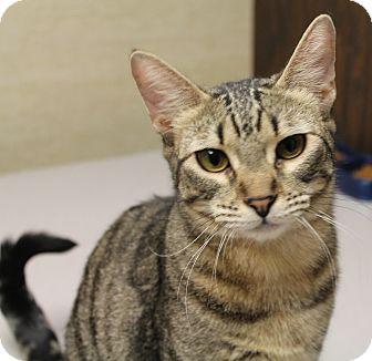Domestic Shorthair Cat for adoption in Stockton, California - Shere Khan