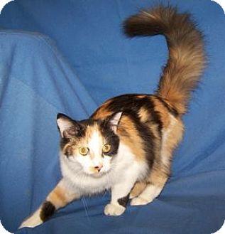 Domestic Mediumhair Kitten for adoption in Colorado Springs, Colorado - Tatiana