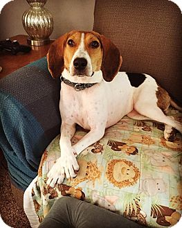 Beagle/Treeing Walker Coonhound Mix Dog for adoption in Frankfort, Illinois - Addie