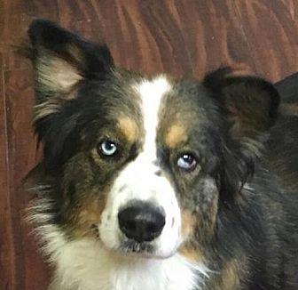 Australian Shepherd/Border Collie Mix Dog for adoption in Modesto, California - Rango