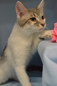 Domestic Shorthair Cat for adoption in Morgantown, West Virginia - Nemo