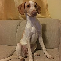 Treeing Walker Coonhound/Australian Shepherd Mix Puppy for adoption in Oak Lawn, Illinois - Macadamia
