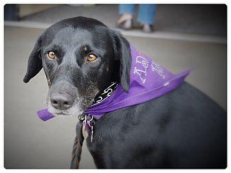 German Shepherd Dog/Labrador Retriever Mix Dog for adoption in Glendale, California - LADY