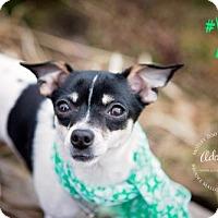 Adopt A Pet :: America's Sweetheart - Redmond, WA